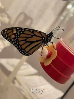 10 baby monarch caterpillars