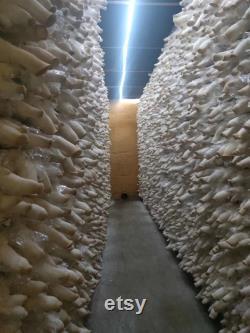 2 King Oyster Mushroom Grow Kits from QH Mushroom Farm