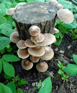 3 Mushroom Grow Log Bundle