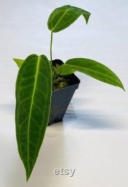 Anthurium Warocqueanum