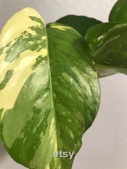 Epipremnum Pinnatum Variegate