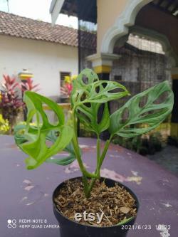 House Plant 5 Pcs Plant Monatera Acuminata size medium Free Phitosanitary Certificate