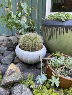 Indoor cactus-Golden Barrel Cactus