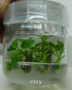 Microclone Plant Tissue Culture Kit-Clones Store Genetics Remove Disease Shipping
