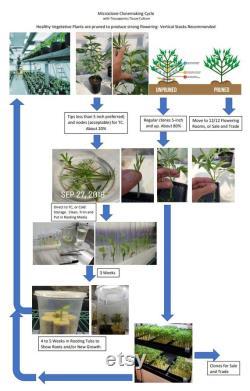 Microclone cannabis tissue culture kit cloning storage clean micropropagation TC