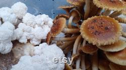 Mushroom Fruiting chamber SGFC style
