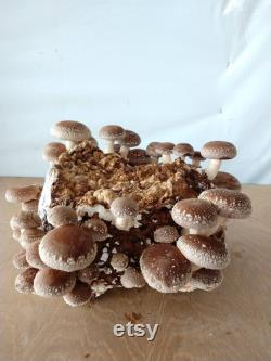 Organic Ready to Fruit Shiitake Lentinula Edodes Blocks DIY Mushroom Grow Kit FREE SHIPPING