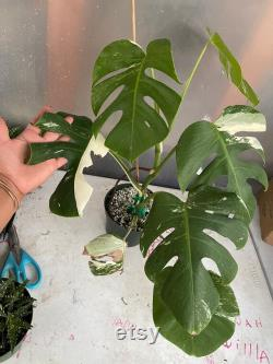 Variegated Monstera Albo Borsiginia houseplant