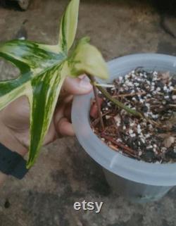 Wholesale Plants Florida beauty variegated free phytosanitari